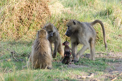 Brenpaviane / Chacma Baboons (brainstorm1984) Tags: wildlife safari botswana moremigamereserve papio okavangodelta chacmababoon papioursinus botsuana nordwest chacmababoons capebaboon campmoremi brenpavian tschakma moremiwildreservat desertdeltasafaris brenpaviane capebaboons tschakmas elangeniafricanadventures