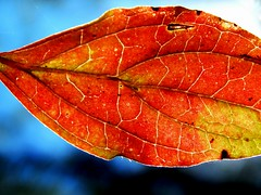 One from the autumn / Eins vom Herbst (Caledoniafan) Tags: blue autumn light red orange macro rot fall nature germany deutschland licht leaf nikon patterns saxony laub herbst natur foliage textures creation sachsen coolpix blau makro blatt muster farben nationalgeographic nikoncoolpix schpfung beautifulearth godscreation wonderfulworld gottesschpfung nspp l820 caledoniafan coolpixl820 nikoncoolpixl820 potd:country=de