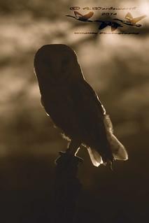 Barn-Owl-Sihouettejpg