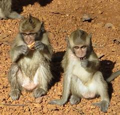 Angkor Wat - monkey kids snacktime (ashabot) Tags: animals cambodia monkeys angkor wat
