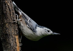 White Breasted Nuthatch (Diane Marshman) Tags: summer white black tree nature up birds back wings eyes branch breast close head pennsylvania wildlife chest side birding gray beak picture pa upper late nuthatch breasted