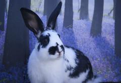 thunder (Meg Halton) Tags: rescue rabbit bunny animal photography guinea rabbits lapin littlest lapins bunnyrabbit 400d meghalton