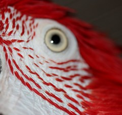 macro monday tiny feathers (parrotlady66..) Tags: eyes feather redandwhite parrotfeather feathermacro macromonday