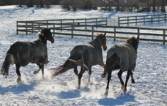 Happy Frisky Fence Friday!! (karma (Karen)) Tags: light horses topf25 shadows fences maryland pastures frisky galloping hff owingsmills garrisonforest minimester baltimoreco fencefriday