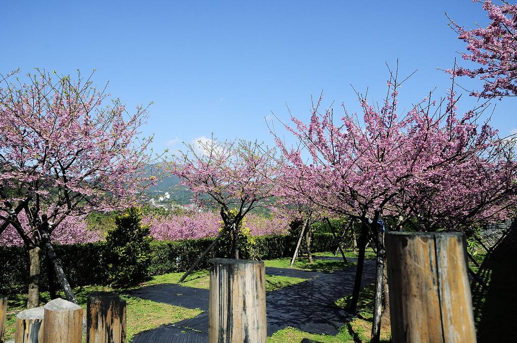 陽明山平菁街櫻花