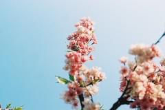 027 (HanPo Lin) Tags: film cherry gold nikon blossom kodak taiwan 200 cherryblossom sakura taipei f18   fa ais  105mm