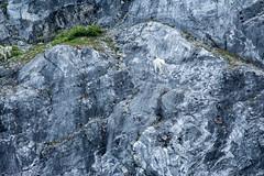 _MG_4304a (markbyzewski) Tags: alaska kids ugly mountaingoats glacierbaynationalpark