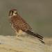 Falco tinnunculus - Cernícalo ♀ - Peneireiro - Faucon crécerelle - Gheppio - Kestrel