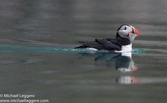 Puffin in Svalbard (Michael Leggero) Tags: ocean sea lake fish reflection bird nature water animals norway swimming river michael pond europe eating svalbard puffin splash leggero splashing vision:sky=0554 vision:outdoor=0931 vision:car=0839