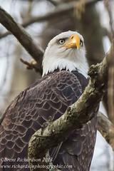 BE34 (brichardson687) Tags: eagle wildlife baldeagle maryland americanbaldeagle conowingo conowingodam {vision}:{outdoor}=0744