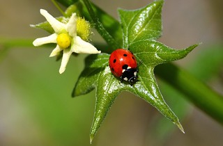 Seven-spotted Ladybug Beetle visiting California Manroot