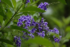 Golden dewdrop (ddsnet) Tags: plant flower sony hsinchu taiwan cybershot        sinpu hsinpu  rx10 goldendewdrop