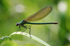 Damselfly (djshoo) Tags: summer insect dragonfly wildlife flight 2014