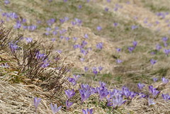 flowers bed (pmsoftware) Tags: flowers crocus alpe succiso alpedisucciso