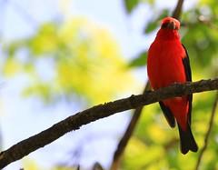 scarlet tanager IMG_6722 (naturalist@winneshiekwild.com) Tags: scarlet reis larry tanager