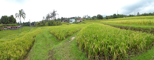 HD Panorama, Rice Terraces Near Gitgit Waterfall, Bali, Indonesia