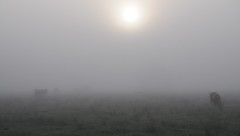Morgennebel - wo sind die Rinder; Norderstapel, Stapelholm (2) (Chironius) Tags: stapelholm norderstapel schleswigholstein deutschland germany allemagne alemania germania германия niemcy tier nebel morgendämmerung morgengrauen утро morgen morning dawn matin aube mattina alba ochtend dageraad рассвет amanecer morgens dämmerung landwirtschaft himmel sonnenaufgang sunrise zonsopgang восходсолнца fog brouillard niebla