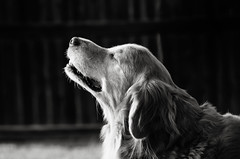 And Now His Watch Is Ended (fallsroad) Tags: blackandwhite bw dog goldenretriever memorial rufus servicedog tribute eulogy assistancedog seizureresponsedog nikond7000 thelittledoglaughednoiretblancet 7052014 thelittledoglaughedstories