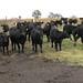Cattle Hoof Concerns