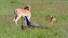Peace (Mah Nava) Tags: nature animal peace natur deer reh ree pfau hirschparkhamburg