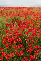 Poppies 004 (monkeymillions) Tags:
