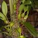 Bulbophyllum saurocephalum – Nico Goosens