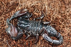 Scorpion (Rosemarie.s.w) Tags: nature insect scorpion