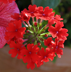 A pot full of colour (littlestschnauzer) Tags: uk flowers red summer plant flower nature garden pretty many yorkshire small container pot trailer blooms planter radiant 2014 sperical