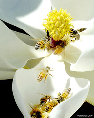 MAGNOLIA_BEES_35 (Dancing with Ghosts Graphics) Tags: california flowers white macro nature outdoors graphicdesign fuji graphic bees honey pollen honeybee magnolias photgraphy naturephoto debbrawalker dancingwghosts dwggrapgics