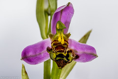 Bee Orchid (Ophrys apifera) (BiteYourBum.Com Photography) Tags: uk greatbritain blue england orchid apple by downs westsussex unitedkingdom bee national gb canonef1740mmf4lusm allrightsreserved ipad beeding focusstacking macpro canonefs60mmf28macrousm biteyourbum orchidophrys canoneos7d appleipad lrenfuse dawnandjim canonspeedlite430exii sigma50500mmf4563dgoshsm loweproprorunner350aw lightroom5 downssouth biteyourbumcom dawnjim camranger copyright©2015biteyourbumcom copyright©biteyourbumcom apiferasouth parkshoreham seashorehambotolphssteyningupper