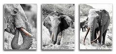 Tusks (PhilHydePhotos) Tags: bw blackandwhite elephants safari wildlife tusks ivory