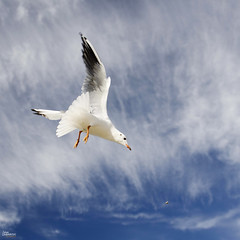 _DSC4639_n (fototaza) Tags: seagull sky blue clouds food flight