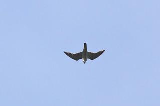 610_7018 遊隼 Peregrine Falcon