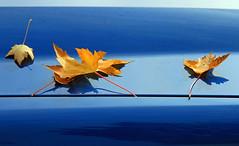 Gold on Blue (Bad Kicker) Tags: leaf carhood
