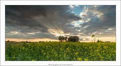 The spotlight. (Tom Baetens) Tags: field landscape outdoor evening rapeseed sun sunset light sky plant tree clouds