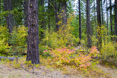 Coming of Fall (Don Thoreby) Tags: suncadiaresort cascades cascaderange cascademts cascademountains forest ponderosapines