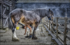 Wimpole Estate Farrier 3 (Darwinsgift) Tags: farrier stables shire horse shoe shoeing wimpole estate cambridgeshire national trust