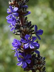Aristea bakeri flowers (dracophylla) Tags: royaltasmanianbotanicalgardens bluestars iridaceae aristeabakeri