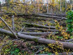 (Бесплатный фотобанк) Tags: осень парк сломанное упавшее дерево сломанные упавшие деревья валежник россия москва