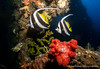 Bannerfish (Sabrina.I) Tags: tulamben indonesien tauchen wreck wreckdiving corals liberty bali diving underwater sea ocean water