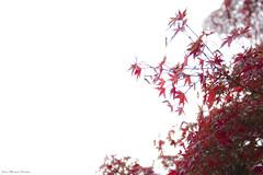 IMG_8367 (Juan Manuel Sanchez) Tags: otoo adrianospicture juanmanuelsanchez hojas arce rojo niebla fog campo montaa madrid espaa canon d60 naturaleza maana cielo silueta contraluz cesped hierba bosque norte