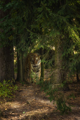 Forest walk (Blitzknips) Tags: sonya77 a77 alpha77 sibirischertiger tiger siberiantiger zooeberswalde zoo forest cat bigcat katze groskatze raubtier raubkatze predator felidae wald baum bume tree