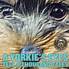 Some good, some mischievous, some entirely loveable. (itsayorkielife) Tags: yorkiememe yorkie yorkshireterrier quote