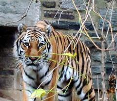 amur tiger 3 (auntiepauline) Tags: philadelphiazoo amurtiger