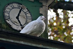 Weie Taube (Helmut Stegmann) Tags: erding taube weis tierpark bayern oberbayern germany deutschland vogel bird bavaria dove zoo time watch uhr nature natur geflgel white pigeon federn nikon nikkor d5200