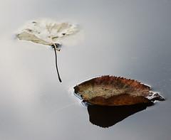 Pure haiku (Sappho et amicae) Tags: leaves puddle minimalism eljkagavrilovi