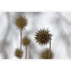 prickly things (horstmall) Tags: distel thistle chardon stachlig prickly dornig dornen stacheln pieksen sting prickles pineux hedge hecke dickicht thicket schwbischealb jurasouabe swabianalps grabenstetten horstmall thorny