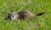 Woodchuck 3 (Christa Rittberg) Tags: woodchuck groundhog mammal lakebronsonstatepark creativecommons