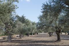 (Psinthos.Net) Tags:  psinthos october autumn    countryside sunnyday   day light  bluesky    olivetrees fields  drygrass     stones soil ground trees  treetrunk treetrunks