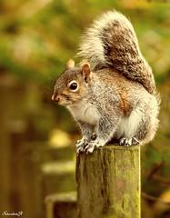 """Grey Squirrel """"explore"""" (Natureshots.JP) Tags: autumn"""